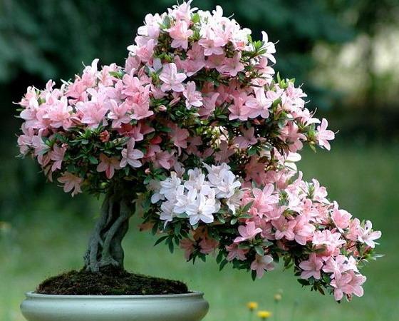 Евгения миртолистная (Eugenia) - великолепный бонсай.